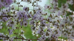 Tropical crape myrtle flower shaking with wind Stock Footage