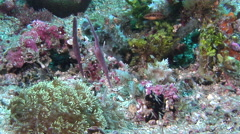Robust ghost pipefish feeding on muck, Solenostomus cyanopterus, HD, UP30520 Stock Footage