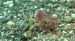Juvenile Star pufferfish swimming on black sand slope and muck, Arothron - stock footage