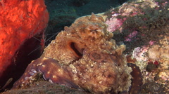 Common reef octopus cleaning and being cleaned on cleaning station, Octopus Stock Footage