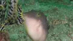 Compressed toby courting, Canthigaster compressa, HD, UP30439 - stock footage