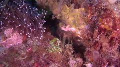 Male adult Fiery dottyback hiding on hard coral microhabitat, Pseudochromis Stock Footage