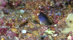 Eyespot coralblenny looking around, Ecsenius ops, HD, UP30945 Stock Footage
