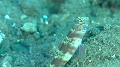 Broad-banded shrimpgoby keeping lookout on black sand slope and muck, Stock Footage