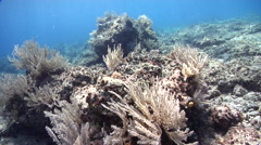 Brown feather stinging hydroids on shallow coral reef, Aglaophenia cupressina, Stock Footage