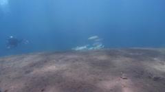 Bluespot mullet feeding on black sand slope and muck, Moolgarda seheli, HD, Stock Footage