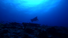 Reef manta ray cleaning and being cleaned on deep coral reef, Manta alfredi, HD, Stock Footage