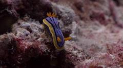 Elizabeth's yellow blue black slug walking, Chromodoris elizabethina, HD, Stock Footage