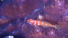 Candycane dwarfgoby breathing on hard coral microhabitat, Trimma cana, HD, Stock Footage