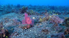 Weedy scorpionfish wobbling on black sand slope and muck, Rhinopias frondosa, Stock Footage