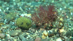 Juvenile Star pufferfish swimming on black sand slope and muck, Arothron Stock Footage