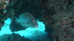 Mother-in-law fish hovering in cavern, Diagramma picta, HD, UP20121 Stock Footage