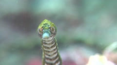 Short-tailed pipefish looking around, Trachyrhamphus bicoarctatus, HD, UP30624 Stock Footage
