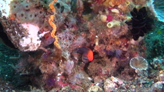 Male adult Lyretail dottyback swimming on mucky micro-bommie, Pseudochromis Stock Footage