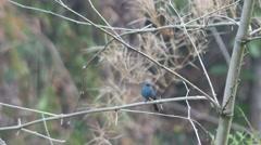 Verditer Flycatcher resting on bamboo branch Stock Footage