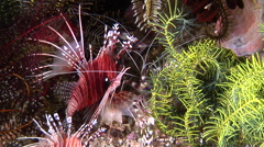 Mombasa lionfish waiting to be cleaned, Pterois mombasae, HD, UP30427 Stock Footage