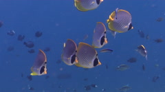 Philippine butterflyfish cleaning and being cleaned on shallow coral reef, Stock Footage