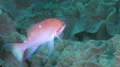 Hutomo's anthias swimming on deep coral reef, Pseudanthias hutomoi, HD, UP30776 Stock Footage