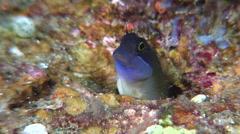 Eyespot coralblenny looking around, Ecsenius ops, HD, UP30944 Stock Footage