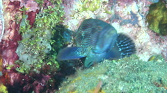 Tomato grouper cleaning and being cleaned on cleaning station, Cephalopholis Stock Footage