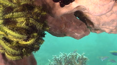 Giant frogfish hiding on silty inshore reef, Antennarius commerson, HD, UP30741 - stock footage