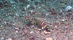 Banded fish-spearer mantis shrimp digging on black sand, Lysiosquilla Stock Footage