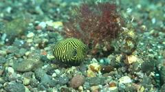 Juvenile Star pufferfish swimming on black sand, Arothron stellatus, HD, UP30604 Stock Footage