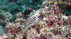 Sharpnose sandperch looking around on muck, Parapercis cylindrica, HD, UP30621 Stock Footage