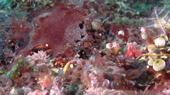 Duncker's Pipefish swaying on black sand slope and muck, Halicampus dunckeri, Stock Footage