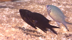 Weber's chromis waiting to be cleaned on shallow coral reef, Chromis weberi, HD, Stock Footage