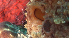 White banded cleaner shrimp cleaning and being cleaned on cleaning station, Stock Footage