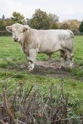 Bull standing on grassy field against trees Stock Photos