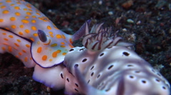 Leopard head flapper slug tailing on black sand slope and muck, Risbecia tryoni, Stock Footage