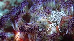 Zebra crab, Zebrida adamsii, HD, UP30647 Stock Footage