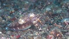 Unidentified black sand cuttlefish looking around on black sand, Sepia sp., HD, Stock Footage