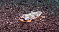 Orange edged Japanese slug walking on black sand, Armina japonica, HD, UP30577 Stock Footage