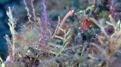 Pygmy pipefish wobbling on black sand slope and muck, Micrognathus pygmaeus, HD, Stock Footage