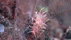 Tiger shrimp walking, Phyllognathia ceratophthalmus, HD, UP30380 Stock Footage
