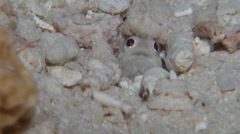 Unidentified pinkeye white jawfish looking around at dusk, Opistognathus sp., Stock Footage
