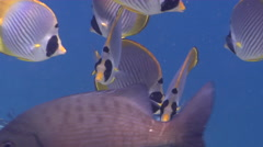 Oriental sweetip cleaning and being cleaned on shallow coral reef, Stock Footage