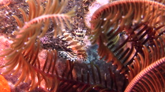 Juvenile Zebra lionfish, Dendrochirus zebra, HD, UP30221 Stock Footage