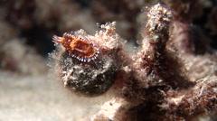 Teeth edge skirt lifter slug swaying at dusk, Chromodoris roboi, HD, UP20199 Stock Footage