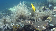 Three-spot angelfish feeding on black sand slope and muck, Apolemichthys Stock Footage