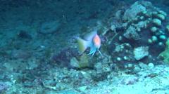 Redbar anthias swimming, Pseudanthias rubrizonatus, HD, UP20211 Stock Footage