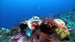 Papuan scorpionfish on deep coral reef, Scorpaenopsis papuensis, HD, UP30665 Stock Footage