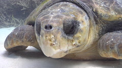 Loggerhead turtle looking around, Caretta caretta, HD, UP20218 Stock Footage
