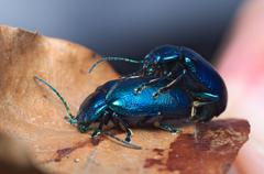 Shiny metallic blue beetle (Oulema obscura) mating on a leaf - stock photo
