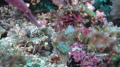 Robust ghost pipefish feeding on muck, Solenostomus cyanopterus, HD, UP30523 Stock Footage