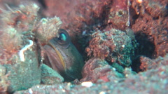Variable jawfish looking around on black sand slope and muck, Opistognathus Stock Footage