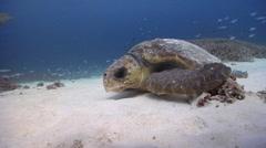 Loggerhead turtle on sand and reef, Caretta caretta, HD, UP20220 Stock Footage